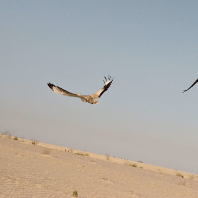 The Houbara Bustard