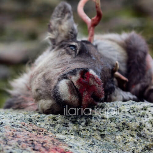 Reindeer Killed near Hallingskeid