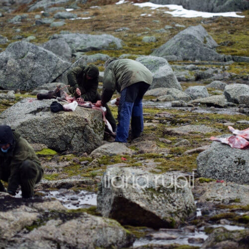 Hunters Butchering a Reindeer on Hardangervidda