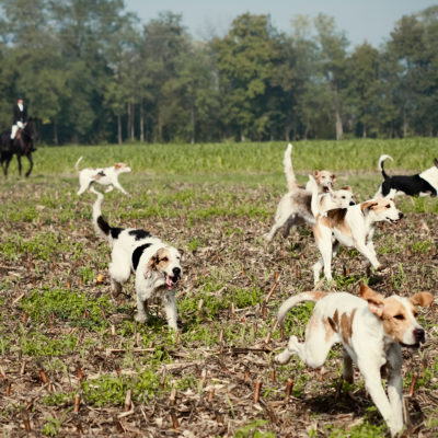 Foxhounds Pack when Hunting