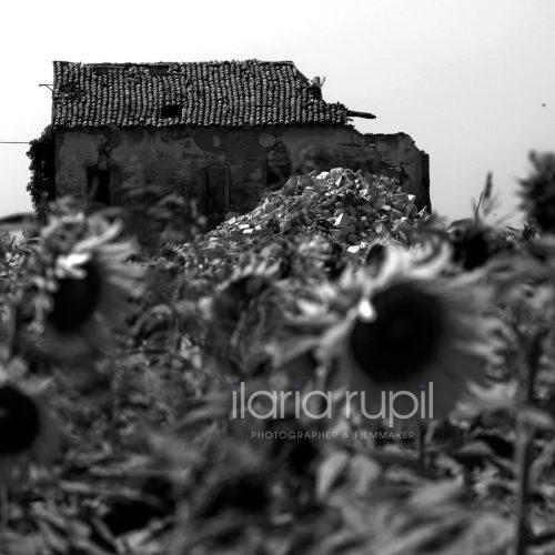 Ruins among Sunflowers in Rovereto sulla Secchia
